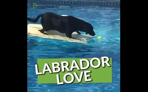 This Compilation Of Labradors Will Renew Your Love For This Amazing Breed