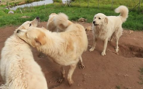 Livestock guard dogs engage in extremely rough playtime