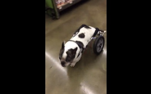 Dog in wheelchair browses treats at pet store