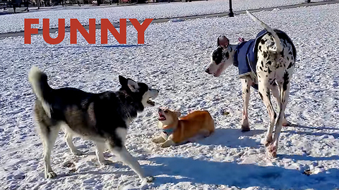 Tiny corgi tries joining big dogs for playtime