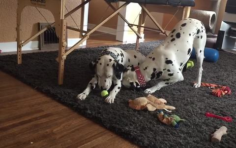 Dalmatian couple enjoy playtime together