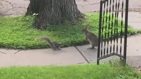 Wild rabbit and squirrel incredibly play together
