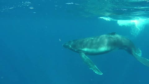 Close encounter with Humpback whale and baby