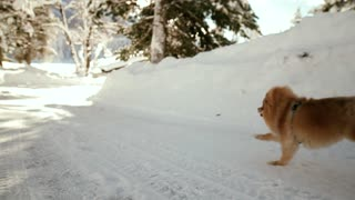 Pomeranian Dog Playing In the Snow! - Video
