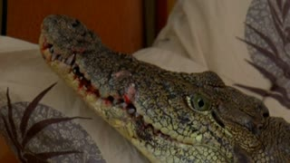 Siberian Man Keeps Infant Crocodile As Pet - Video