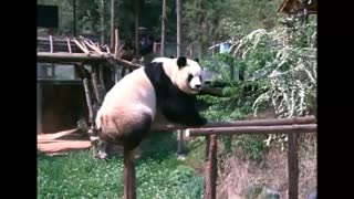 Lonely Panda Gets Own TV Set In Chinese Zoo - Video