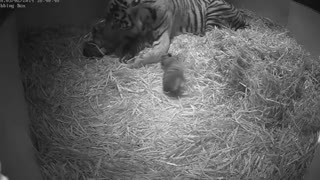 First Glimpse Of Three Rare Tiger Cubs