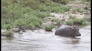 Heroic Hippo Saves Antelope From Crocodile - Video