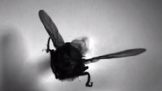 How The Fly Flies - X-Rays Reveal All