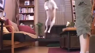 Funny Dog Trick - Ninja Jack Russell Terrier Karate Kicks a Book - Video