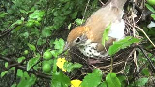 Wood Thrush Feeding - Video