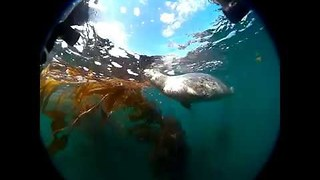 Scuba Drivers Swim With Curious Harbor Seal
