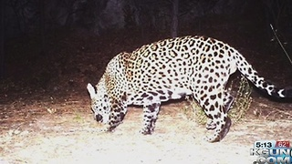 Jaguar spotted near Sierra Vista - Video