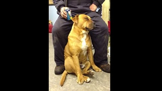 Exhausted Dog Falls Asleep Sitting Up - Video