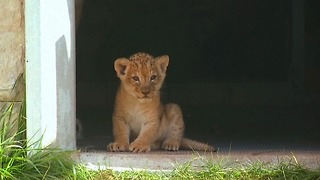 Lion Cub Born At Sarajevo Zoo - Video
