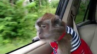 Patriotic Monkey Celebrated Independence Day in Style - Video