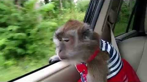 Patriotic Monkey Celebrated Independence Day in Style