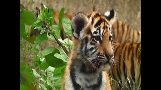 Rare Amur Tiger Cubs - Video