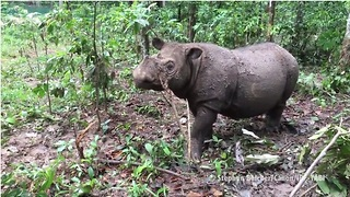 Rare rhino baby is only second of her kind born in 128 years - Video