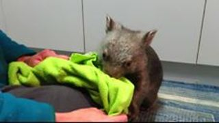 Dinner and Playtime With Orphaned Wombats - Video