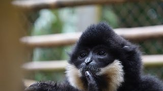 Gibbons Start Their Morning with a Song - Video