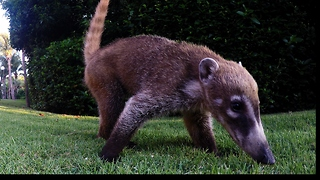 Playful baby coatis thoroughly investigate GoPro - Video