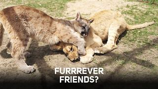 Unlikely pals: When a puma meets a lion - Video