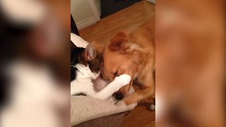 Puppy Just Wants To Cuddle With Cat - Video