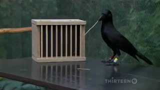 How Smart Are Crows? Scary Smart - Video