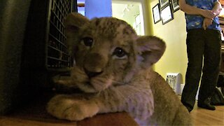 Adorable lion cub wants to get into his kennel for a nap