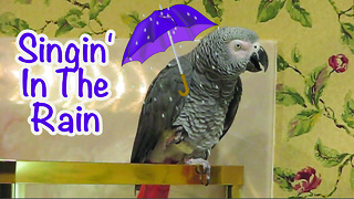 Parrot performs his version of