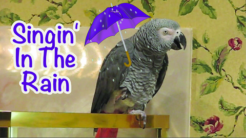 "Parrot performs his version of ""Singin' in the Rain"""