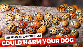 You Probably Think Those Are Just Ladybugs In Your House, The Truth Is Much More Dangerous - Video