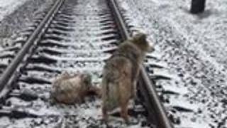 Injured Dog on Frozen Rail Track Protected by Faithful Companion - Video