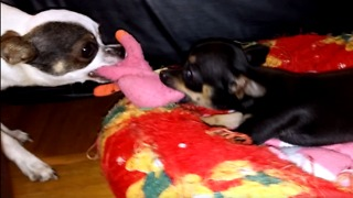 chihuahua pulling little chihuahua cute  - Video