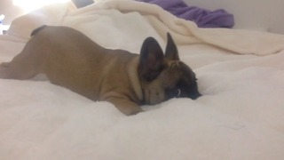 6 months old, French Bulldog nervous with the camera  - Video