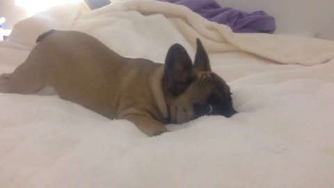 6 months old, French Bulldog nervous with the camera