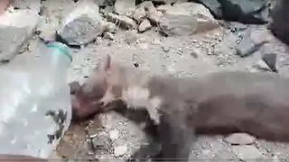 Helping a thirsty Weasel - Video