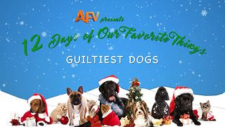 AFV's 12 Days of Christmas Guiltiest Dogs - Video