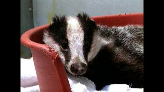 Washed Badger - Video