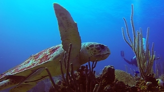 Divers swim with extremely rare loggerhead sea turtle