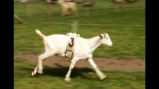 Goat Grand National - Video
