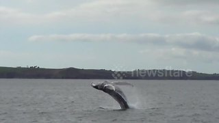 Humpback whale spotted in Falmouth Bay, Cornwall - Video