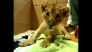 Tiny Japanese Lion Cub - Video