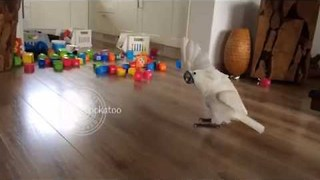 Harley the Cockatoo Enjoys Battling Plastic Cups - Video