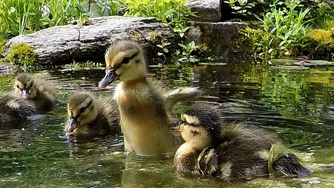 Rescued ducklings' beautiful response to being released on a pond