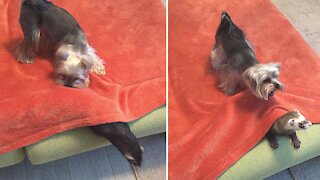 Energetic Yorkie loves to play hide-and-seek with ferret friends