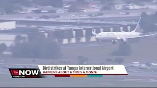 Bird strikes at Tampa International Airport - Video
