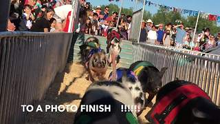 Pigs race each other for Canadian title - Video