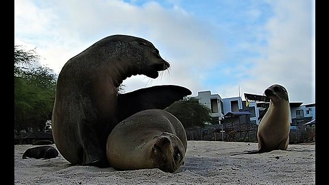 Baby sea lion tries to interrupt parents' cuddling to get milk